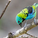 Tanagers of Brazil