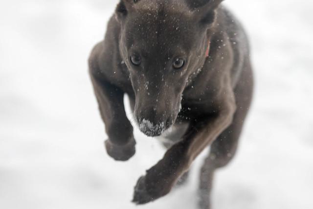 Dougal Hauling in the snow.jpg
