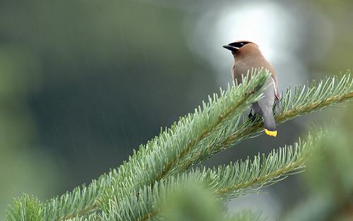 Cedar Wax Wing | by raya6789