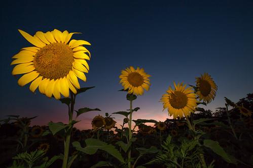 sunflowers mckeebesherswildlifemanagementarea canon5dmkiingc