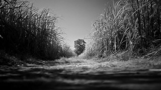 cane field | by Matt Jones (Krasang)