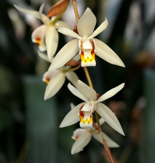 Coelogyne flaccida 0420-3; Orchidaceae (1)