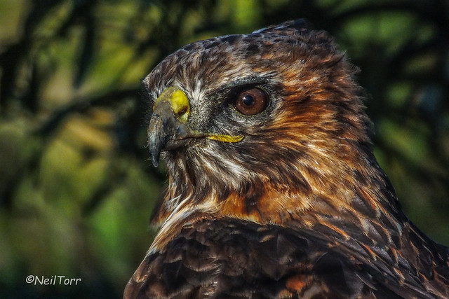 Tempest the Red Tailed Hawk