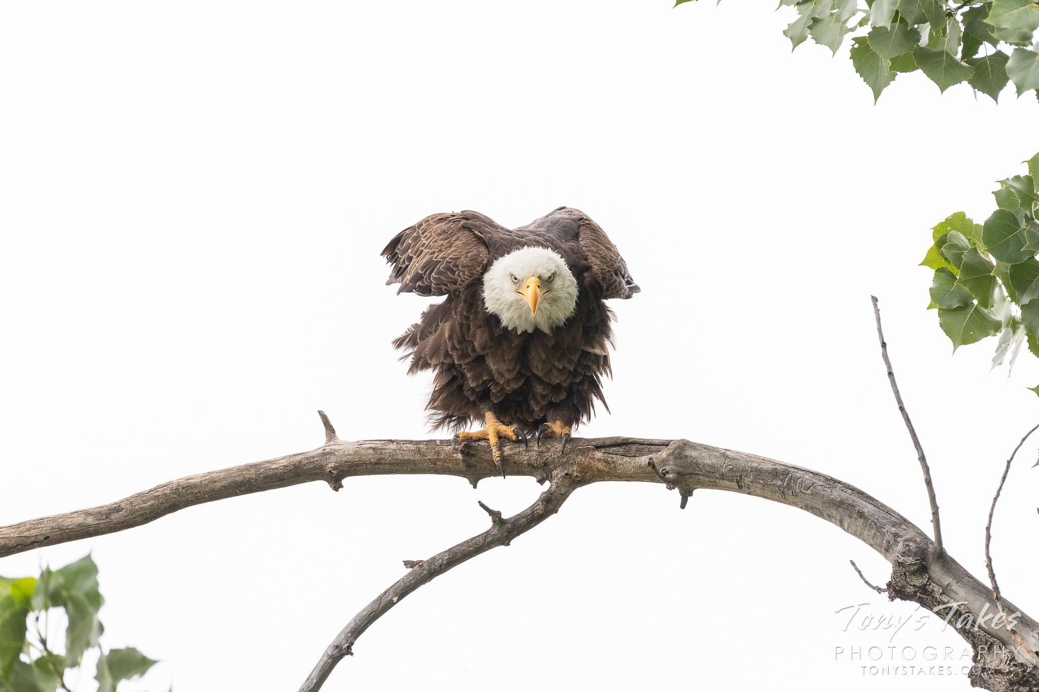 Bald Eagle gets serious