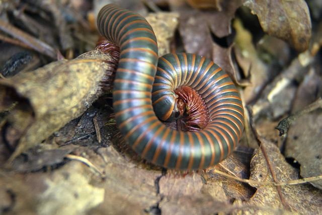 Narceus americanus, South Cherokee NF & WMA, Polk County, Tennessee