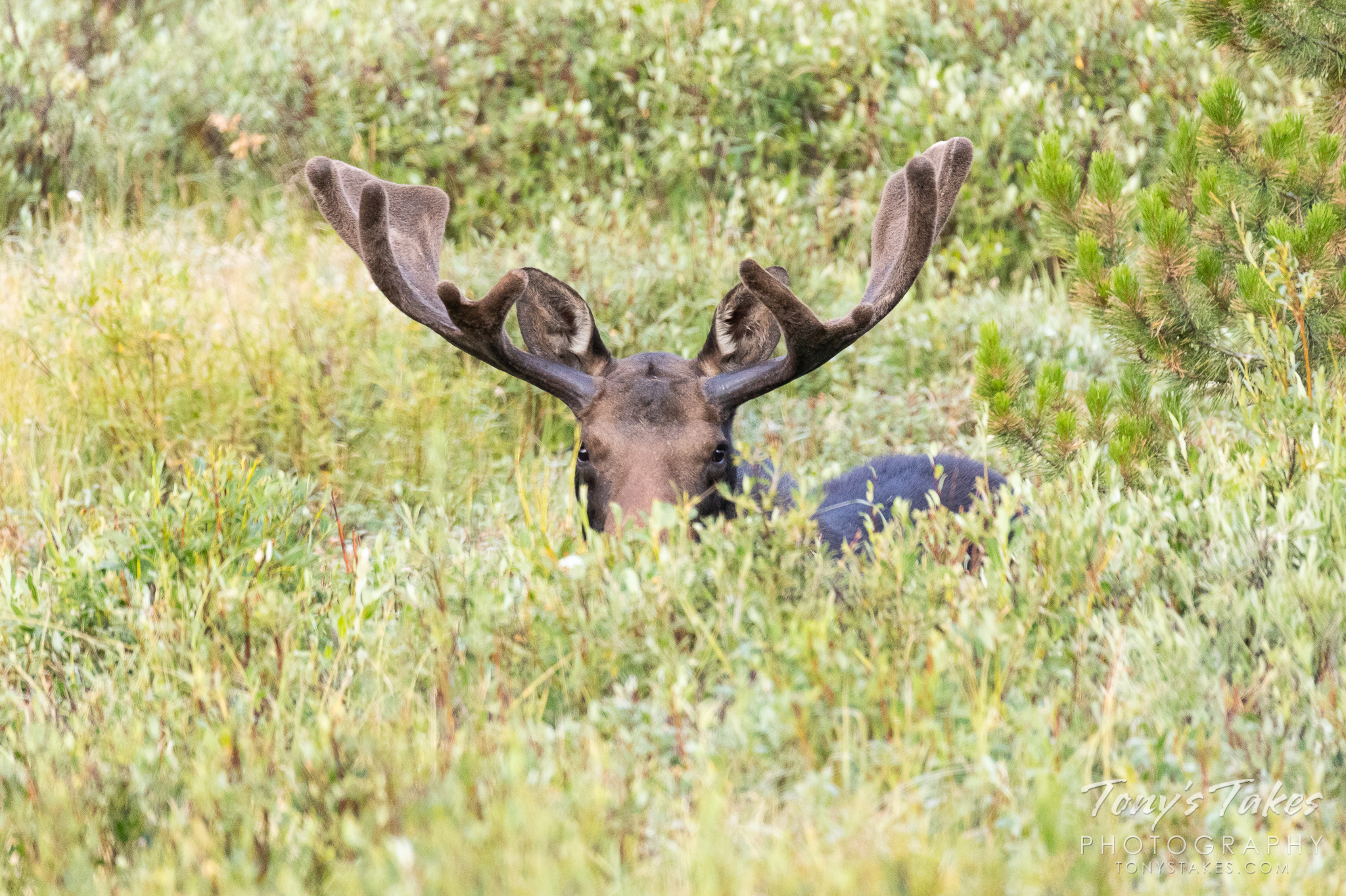 Playing peek-a-boo with a 1,000 pound Moose bull