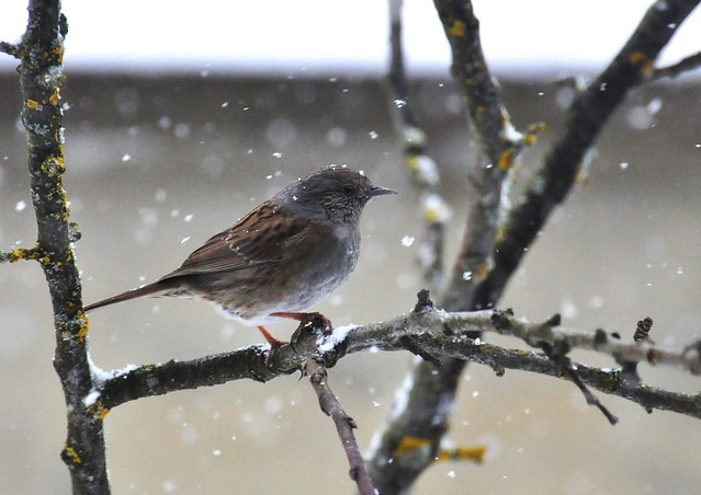 Sparrow in the blizzard