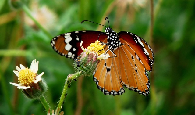 Plain Tiger & bugs on Tridax Daisy - our Backyard
