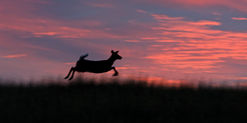 usa nature sunrise happy jumping colorado joy running leaping allrightsreserved yearling whitetaildeer cherrycreekstatepark pinksunrise ef70200mmf4lis canon5dmkiii copyright2014davidcstephens dxoopticspro101 z5a4296dxosrgb dxo sky cloud abstract blur getty