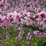 DSC03306 桃花