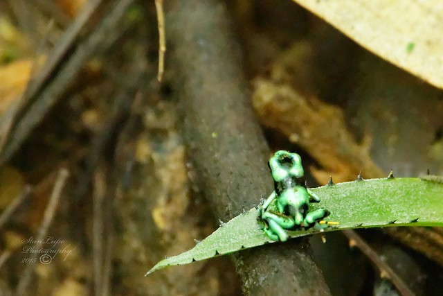 Green and Black Tree Frog