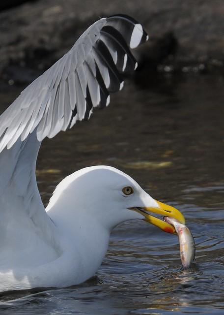 American Herring Gull - Larus smithsonianus