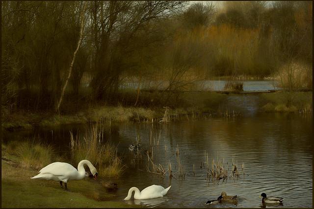 Swans and Ducks lake