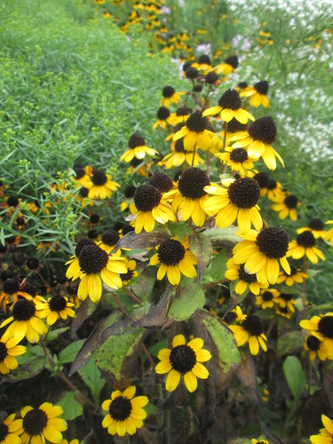 Brown-eyed Susan | by capemaynativeplants