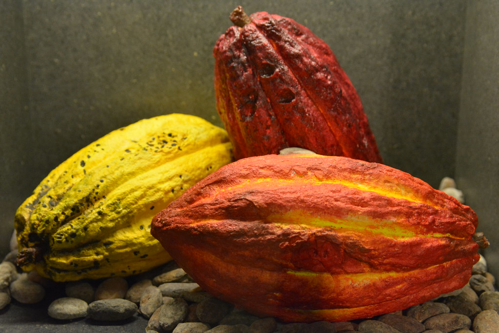Cosses de cacao.