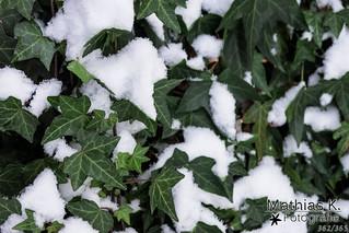 Efeu im Schnee | Projekt | Tag 362