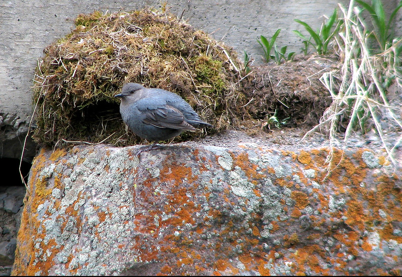 2015 2 21 - American Dipper and Nest2 - Lava Creek