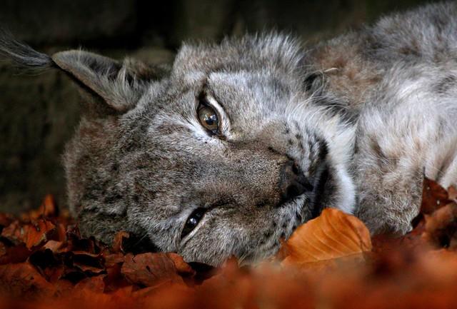 Let Sleeping Lynxes Lie