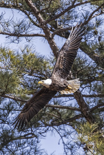 Berry Bald Eagle Male 2 | by Jason Blalock