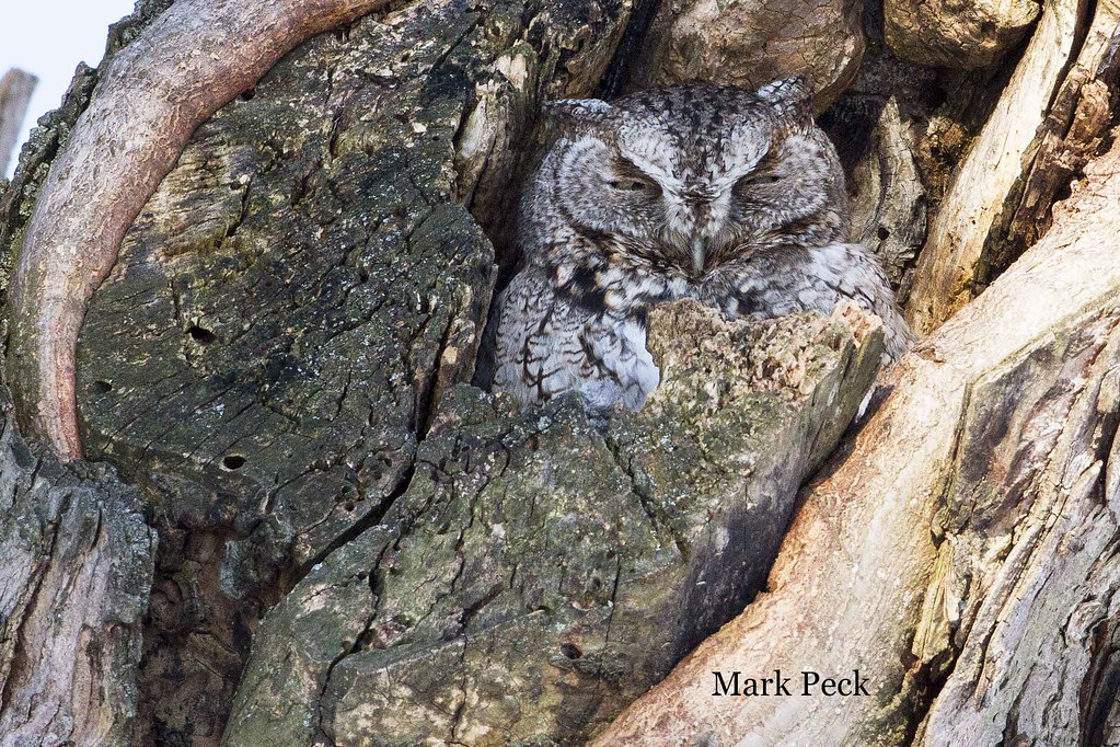 Eastern Screech-Owl Megascops asio