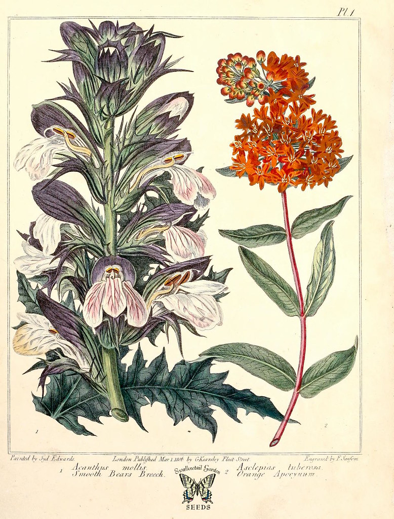 Bears Breeches And Butterfly Weed 1812 Acanthus Mollis Flickr