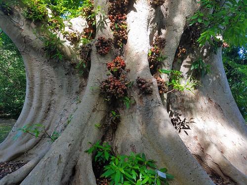 tree treetrunk cauliflory ficusracemosa clustertree indianfigtree