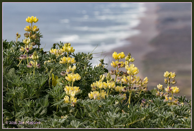 Lupine and Waves 8170