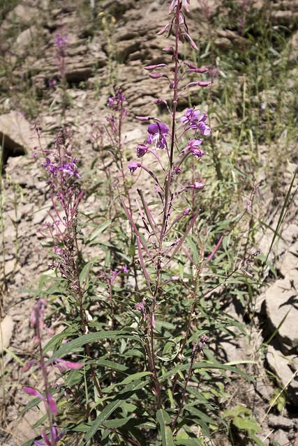 Boechera Perennans?, Santa Fe National Forest, Sandoval County, New Mexico