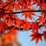 圓光寺の紅葉🍁 * 朱の染まり具合といい葉っぱのカタチの良さといい素晴らしい🍁 空の青と光の織り成す陰もまた風流🍁 * * #京都 #洛北 #圓光寺 #青竹 #紅葉 #kyoto #ig_japan #ig_nihon #icu_japan #jp_views2nd #gf_japan #wu_japan #japan_focus #ig_cameras_united #igscglobal #tgif_features #bns_japa