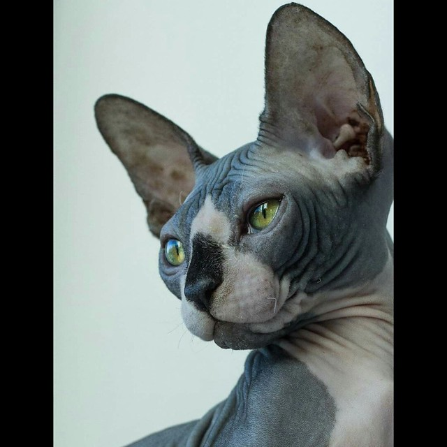 Donskoy or Don Sphynx Cat Pictures and Information - Cat-Breeds com