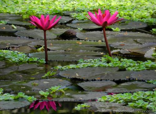 Red waterlilies - Shibpur Botanical Garden #Kolkata   by moon@footlooseforever.com
