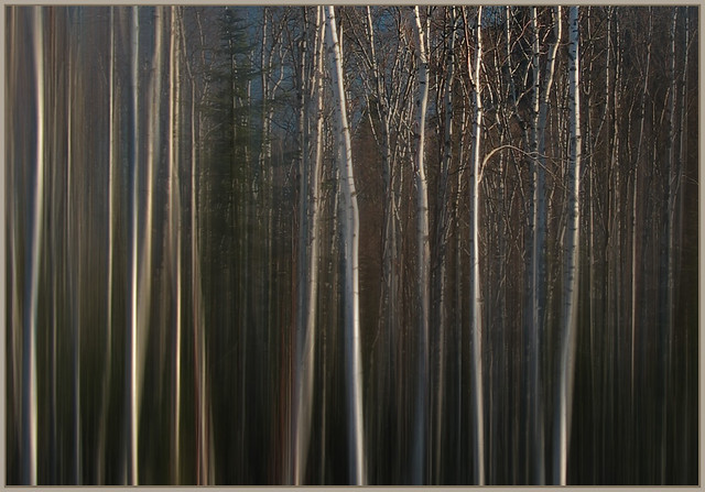 LAKE SUPERIOR BIRCH FOREST ABSTRACTION
