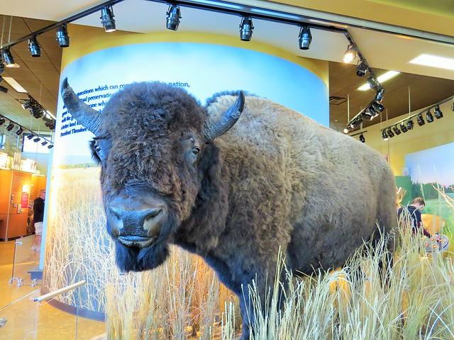 Bison Exhibit