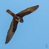 Dark morph Eleonora's Falcon (Falco eleonorae)-0727 by Stein Arne Jensen