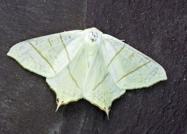 70.243 Swallow-tailed Moth - Ourapteryx sambucaria