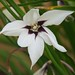Gladiolus murielae - Photo (c) Stefano,  זכויות יוצרים חלקיות (CC BY-NC-SA)