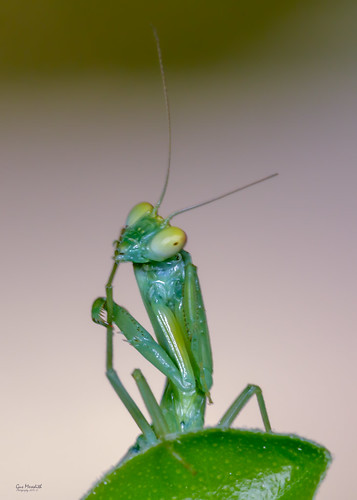 Young Praying Mantis | by gus.meredith