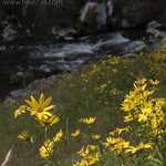 Rocky Mountain Helianthella