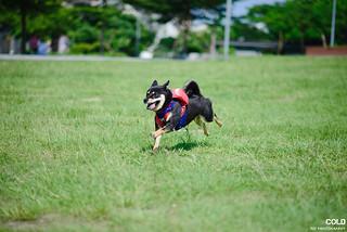 [台北 寵物攝影] 柴犬NINI 秋田娃娃   by cold0328
