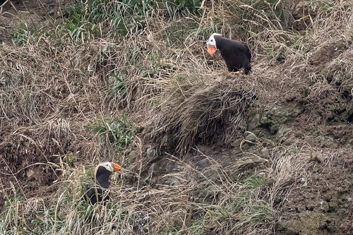 Tufted Puffins   by Scrumhalf
