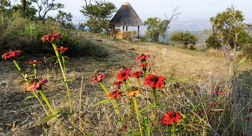 southafrica mpumalanga lydenburg zinniaperuviana kuduranch kuduprivatenaturereserve kudugameranch georgesview