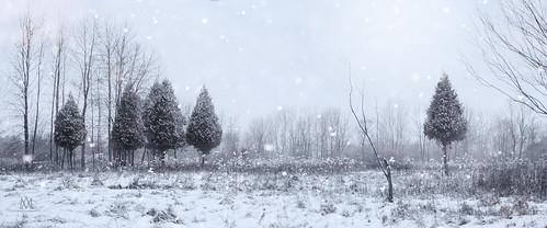 trees winter panorama snow canada landscape grove falling cedar boucherville mariannaarmata p3450363