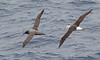 Light-mantled Sooty and Black-browed Albatrosses by Mark Carmody