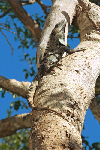 Tree Climbing Iguana