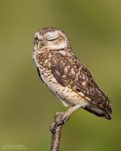 Burrowing Owl (Athene cunicularia) | by Kester Clarke