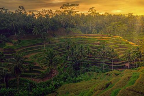 bali indonesia paddyfield padifield kecamatantegallalang