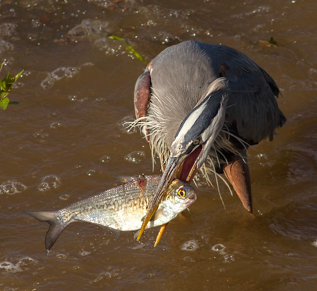 IMG_2882 Great Blue Heron