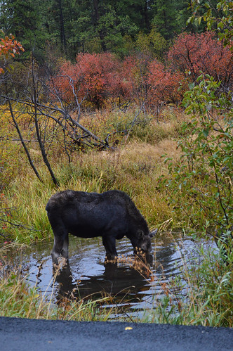 Drinking moose | by sharonjanssens