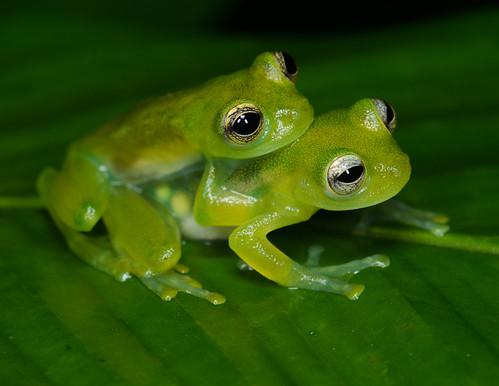Spiny Cochran Frog Teratohyla spinosa | by Jason Folt