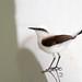 Flycatchers of Brazil